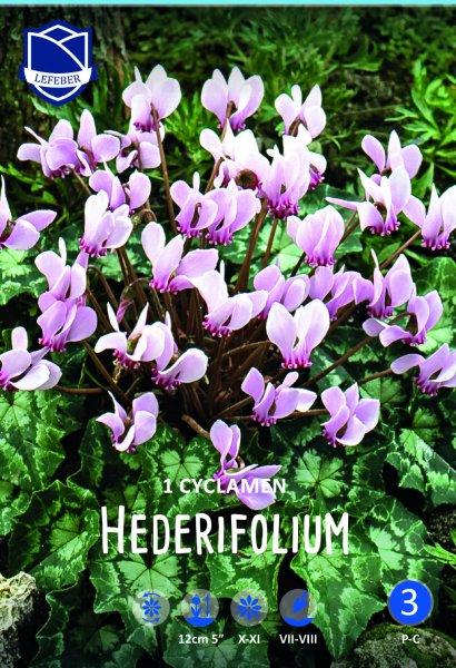 Alpenveilchen Hederifolium