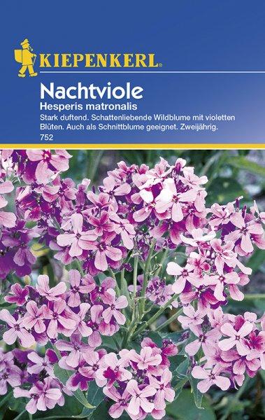 Nachtviole violett
