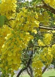 Indischer Goldregen / Gelbe Kassie / 20 Samen