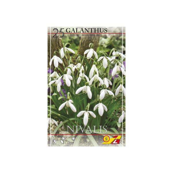 25 Galanthus Nivalis Einfach (Schneeglöckchen)