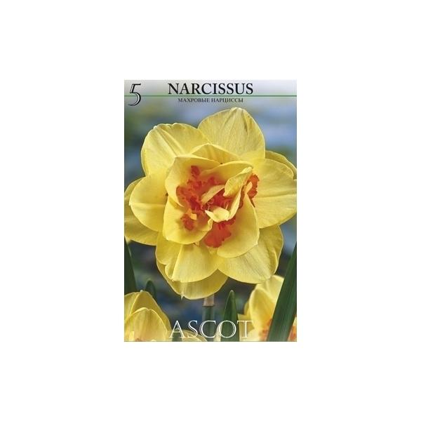 Narzisse Ascot
