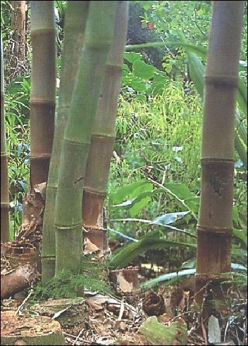 Riesenbambus
