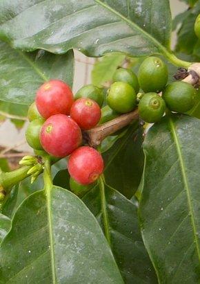 Arabica-Hochlandkaffee