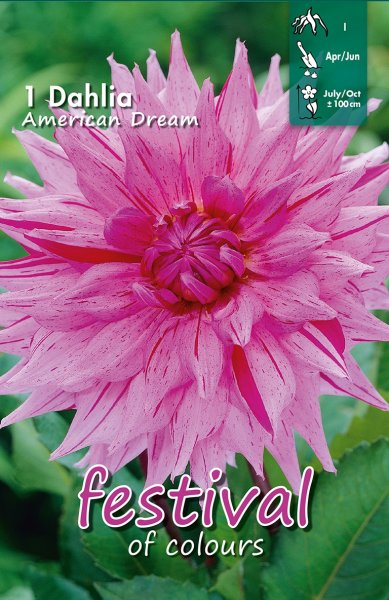 Dahlie American Dream