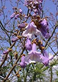 Blauglockenbaum / 200 Samen