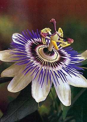 Blaue Passionsblume / 25 Samen