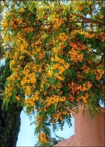 Gelber Flammenbaum