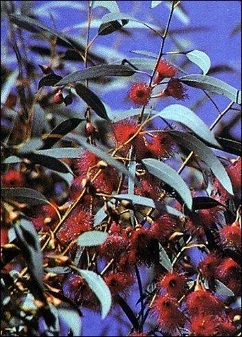 Weißer Eucalyptus / 200 Samen