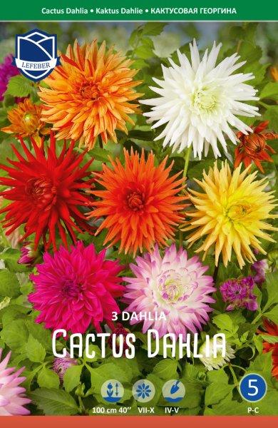 Dahlie Kaktus 100cm 3St.