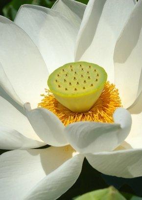 Weisse Lotusblume / 4 Samen