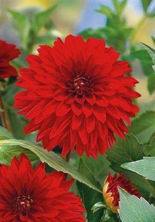 Dahlie Red Sun 1St.