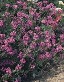 Eisenkraut Blütenmeer viol.
