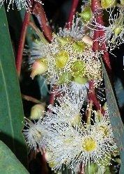 Eukalyptus Roter Fluß