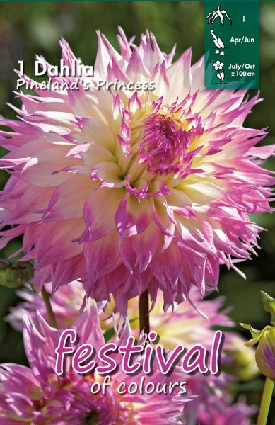 Dahlie Pinelands Princess