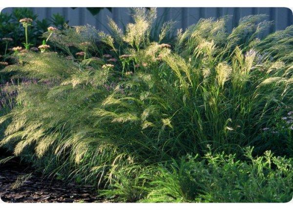 Kamelhaar-Gras / Silber-Ährengras