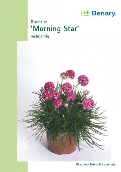 Grasnelke 'Morning Star', mehrjährig