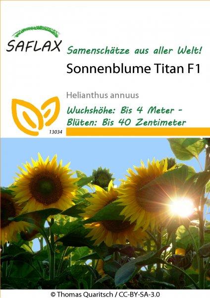 Sonnenblume Titan F1 ca. 400cm
