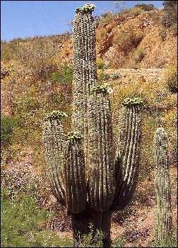 Mexikanischer Riesenkaktus