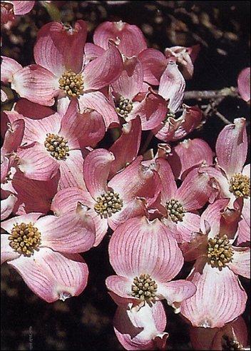 Roter Blüten-Hartriegel
