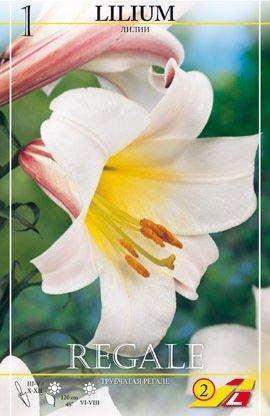 Königslilie Regale
