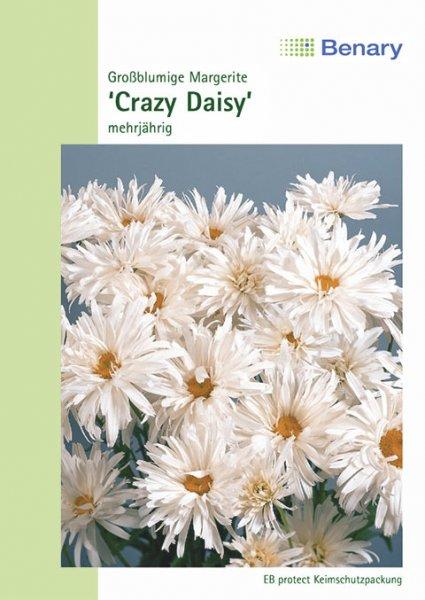 Margerite 'Crazy Daisy', mehrjährig
