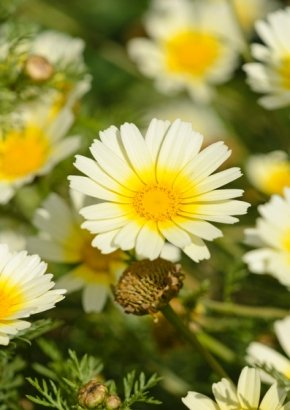 Essbare Chrysantheme `Shungiku`