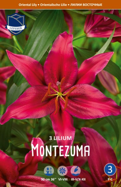 Lilie Oriental Montezuma