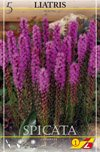 Prachtscharte lila