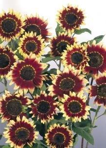 Sonnenblume Florenza ca.120cm