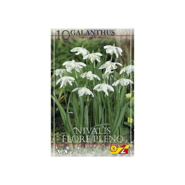 10 Galanthus Nivalis Gefüllt (Schneeglöckchen)