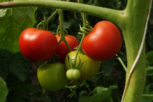 Bio-Salattomate Matina