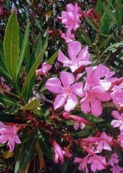 Oleander Blütenmix