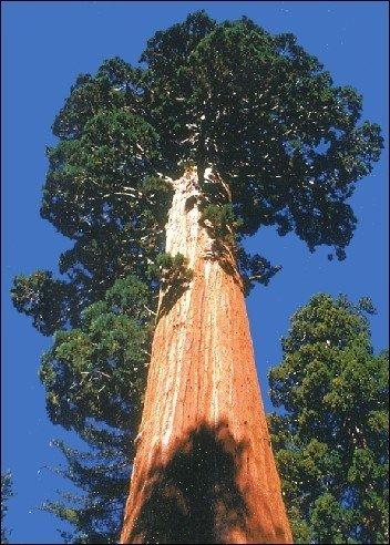 Berg - Mammutbaum