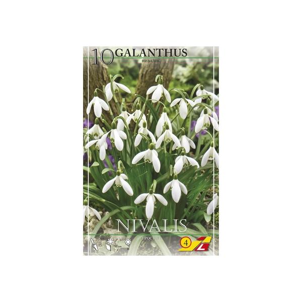 10 Galanthus Nivalis Einfach (Schneeglöckchen)