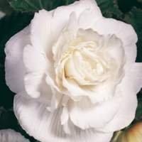 Weiss gefüllt grossblumig St.