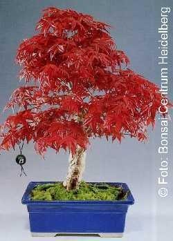 Roter Fächerahorn Freilandbonsai