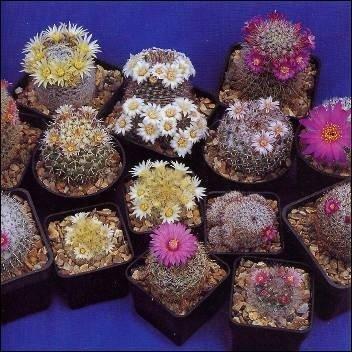Mammillaria Mischung