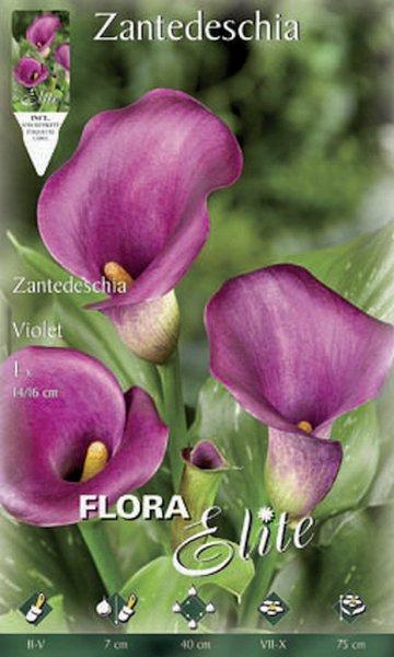 Calla violett