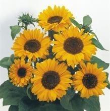 Sonnenblume Soraya ca.150cm