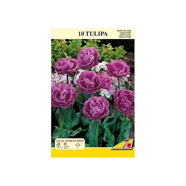 Tulpe Lilac Perfection