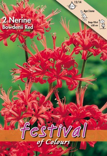 Nerine Rot Bowdenii