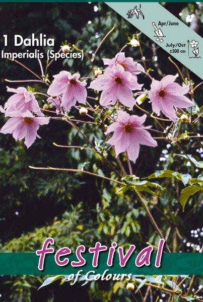 Dahlie Imperialis