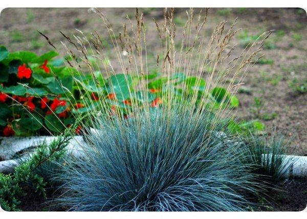Blauschwingel-Gras