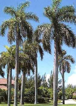 Cubanische Königspalme