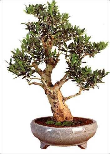 Olive / Ölbaum Zimmerbonsai