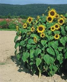Sonnenblume Holiday ca.120cm