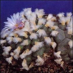 Peyotl Kaktus