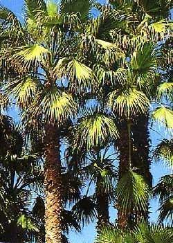 Palmettopalme / 8 Samen