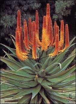 Feuer - Aloe / 40 Samen