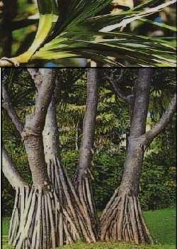Schraubenbaum / 5 Samen